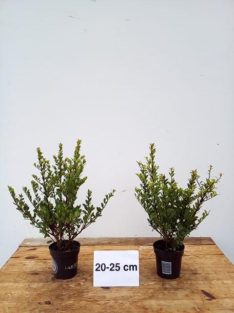 5 ilex crenata dark green 20 25cm f grab hohe hecken einfassungen buxersatz ebay. Black Bedroom Furniture Sets. Home Design Ideas