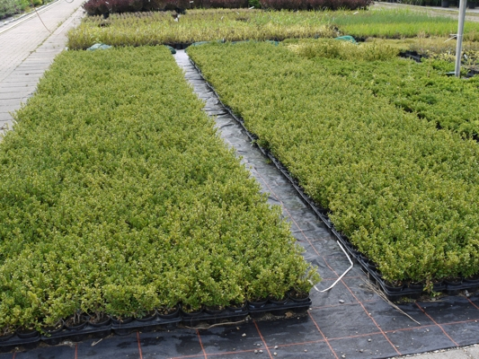 5 ilex crenata schlossgarten 10 15cm ersatz buchs buxus f einfassungen hecken ebay. Black Bedroom Furniture Sets. Home Design Ideas