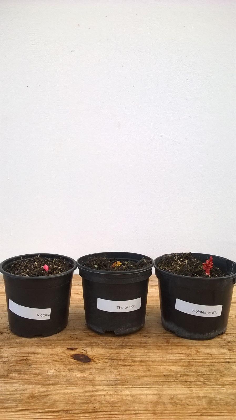 3 verschiedene sorten rhabarber pflanzen vielseitiger. Black Bedroom Furniture Sets. Home Design Ideas