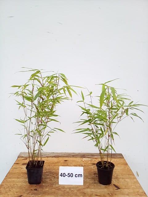 1x bambus pflanze fargesia rufa 40 50cm jetzt mehr. Black Bedroom Furniture Sets. Home Design Ideas